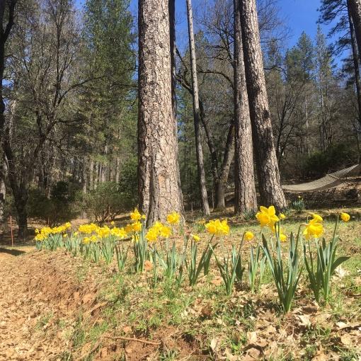 Daffodils & Ponderosas